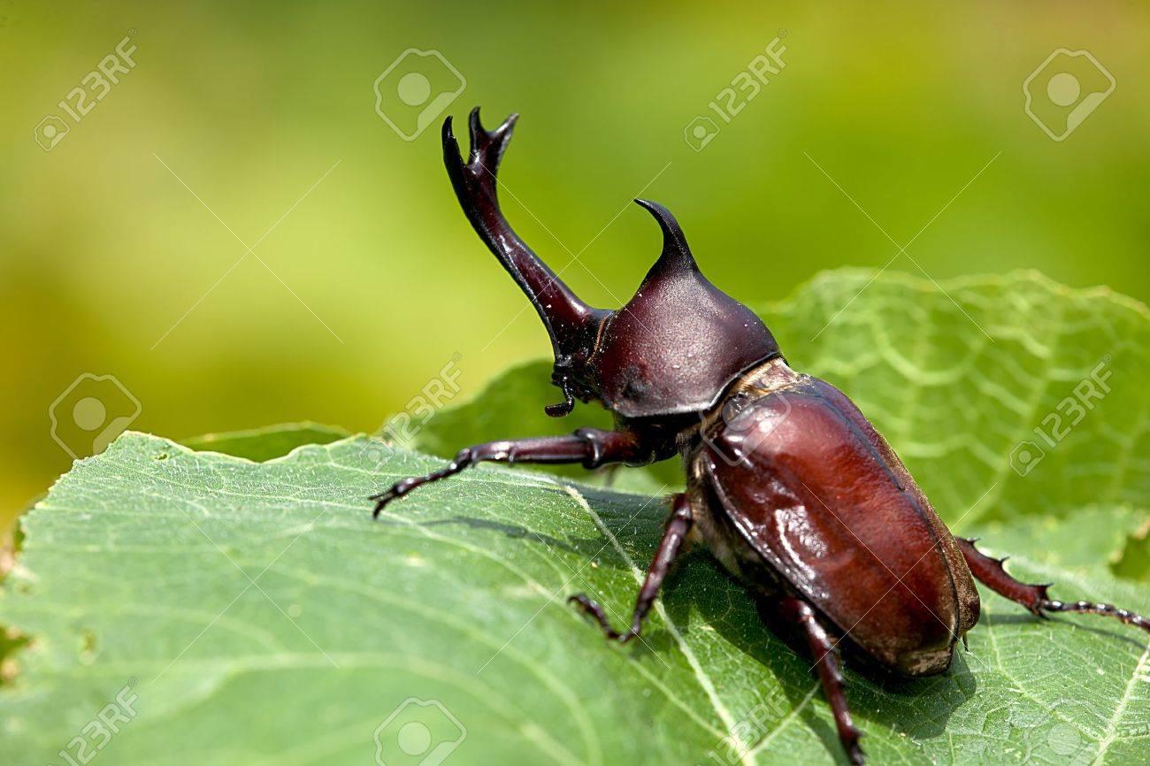 Rhinoceros beetle (Allomyrina dithotomus) with nice background green - 9048758