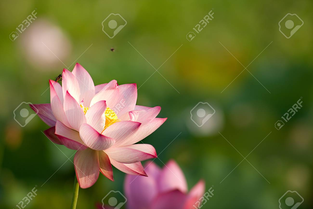 Beautiful Lotus for background use Stock Photo - 8064585