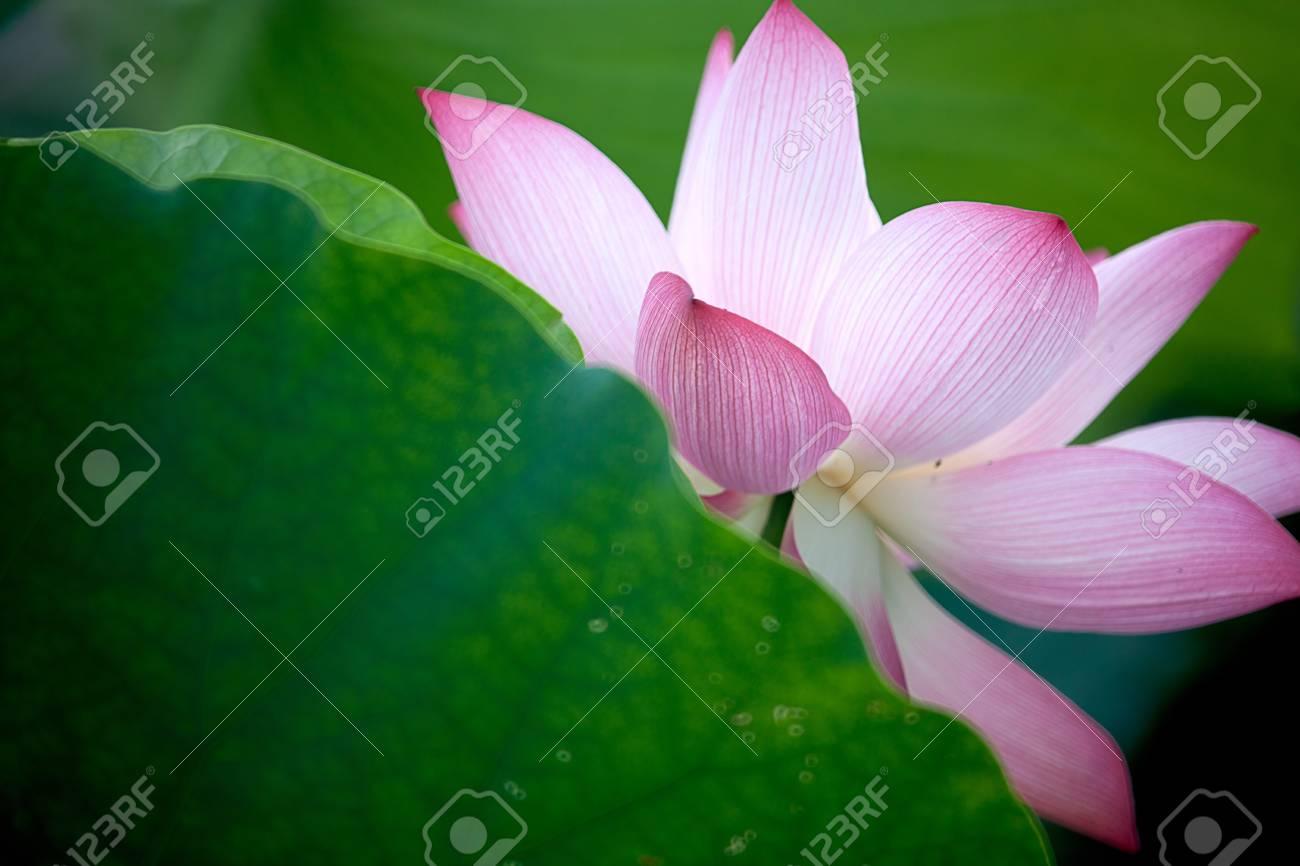 Beautiful Lotus for background use Stock Photo - 8065481