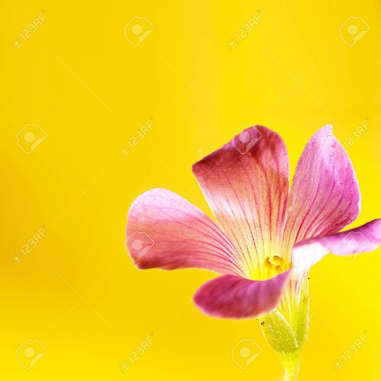 Pink oxalis Oxalis corymbosa  in garden Stock Photo - 16766292