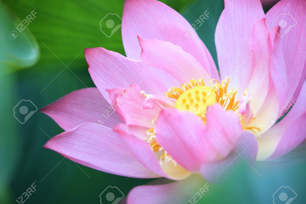 The lotus flower and lotus flower plants stock photo picture and stock photo the lotus flower and lotus flower plants mightylinksfo