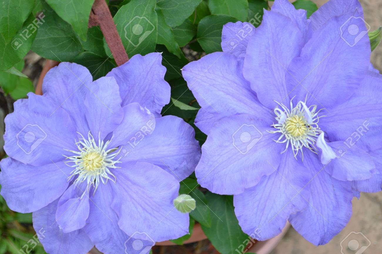 Two big purple flowers in a pot stock photo picture and royalty stock photo two big purple flowers in a pot mightylinksfo Images