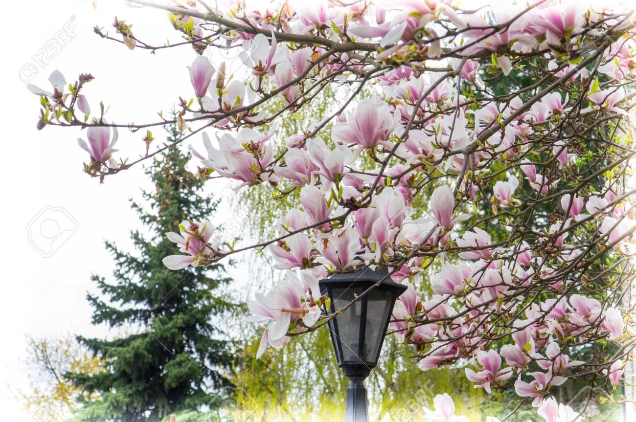 tulpenbaum auf fruhling standard bild 60481538