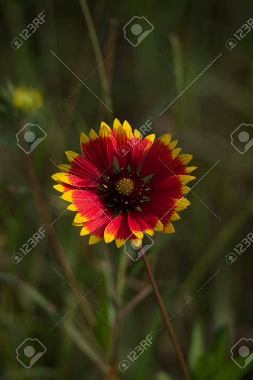 Red flower with yellow tips to petals stock photo picture and red flower with yellow tips to petals stock photo 24147901 mightylinksfo