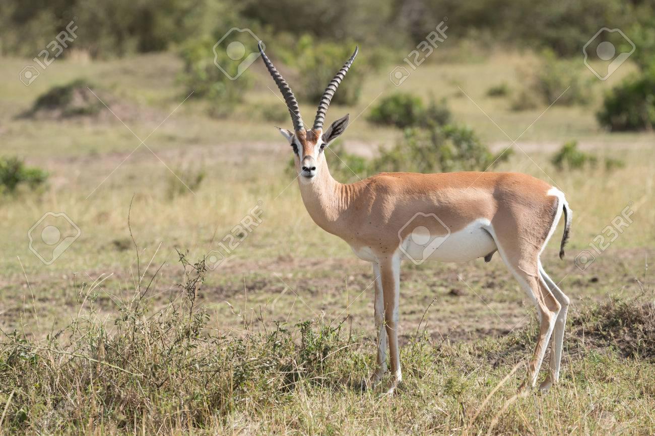 44981566-la-gazelle-de-grant-a-se-fixe-l-objectif-de-la -savane-africaine-dans-l-arrière-plan-sont-quelque.jpg