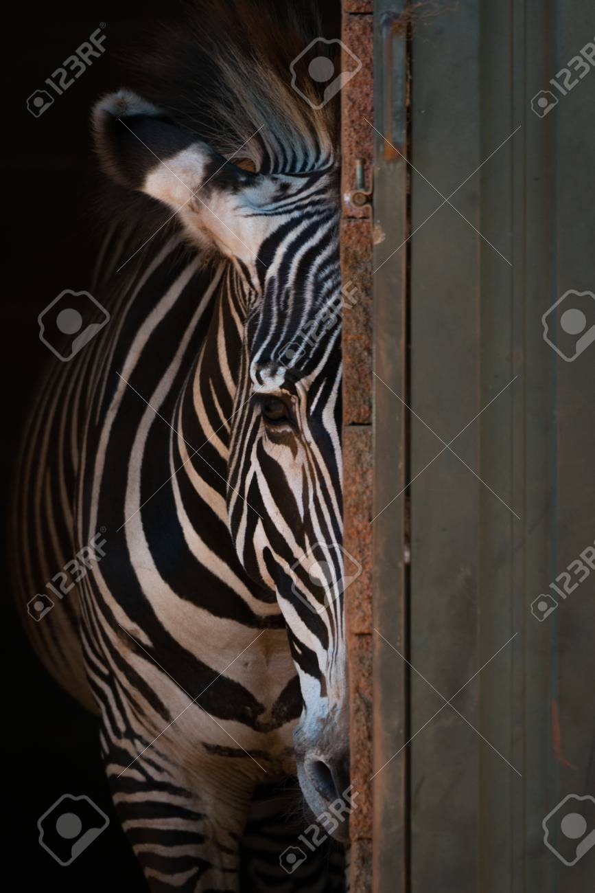 Grevy zebra peeping from behind barn door Stock Photo - 84995614 & Grevy Zebra Peeping From Behind Barn Door Stock Photo Picture And ...