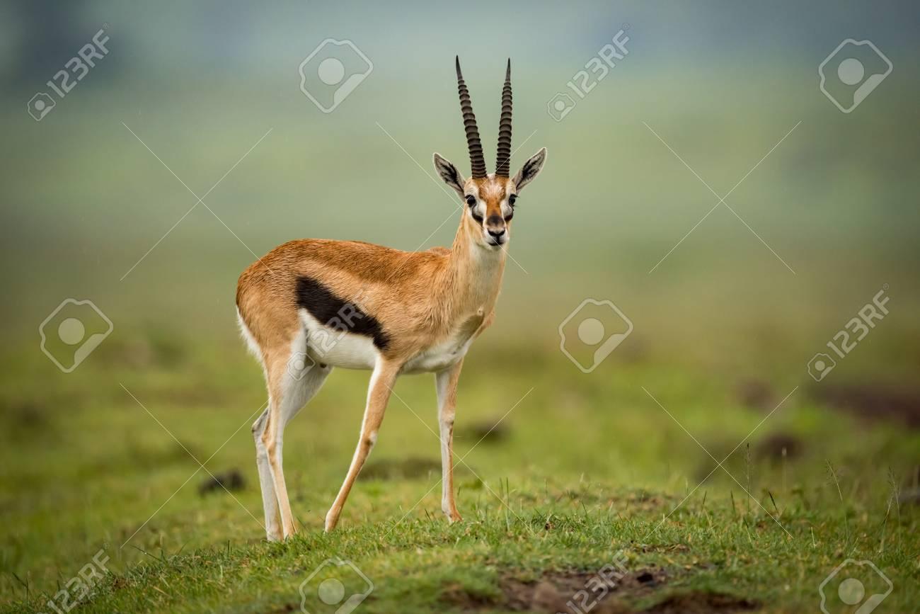Thomson gazelle moves foreleg back on mound - 104788634