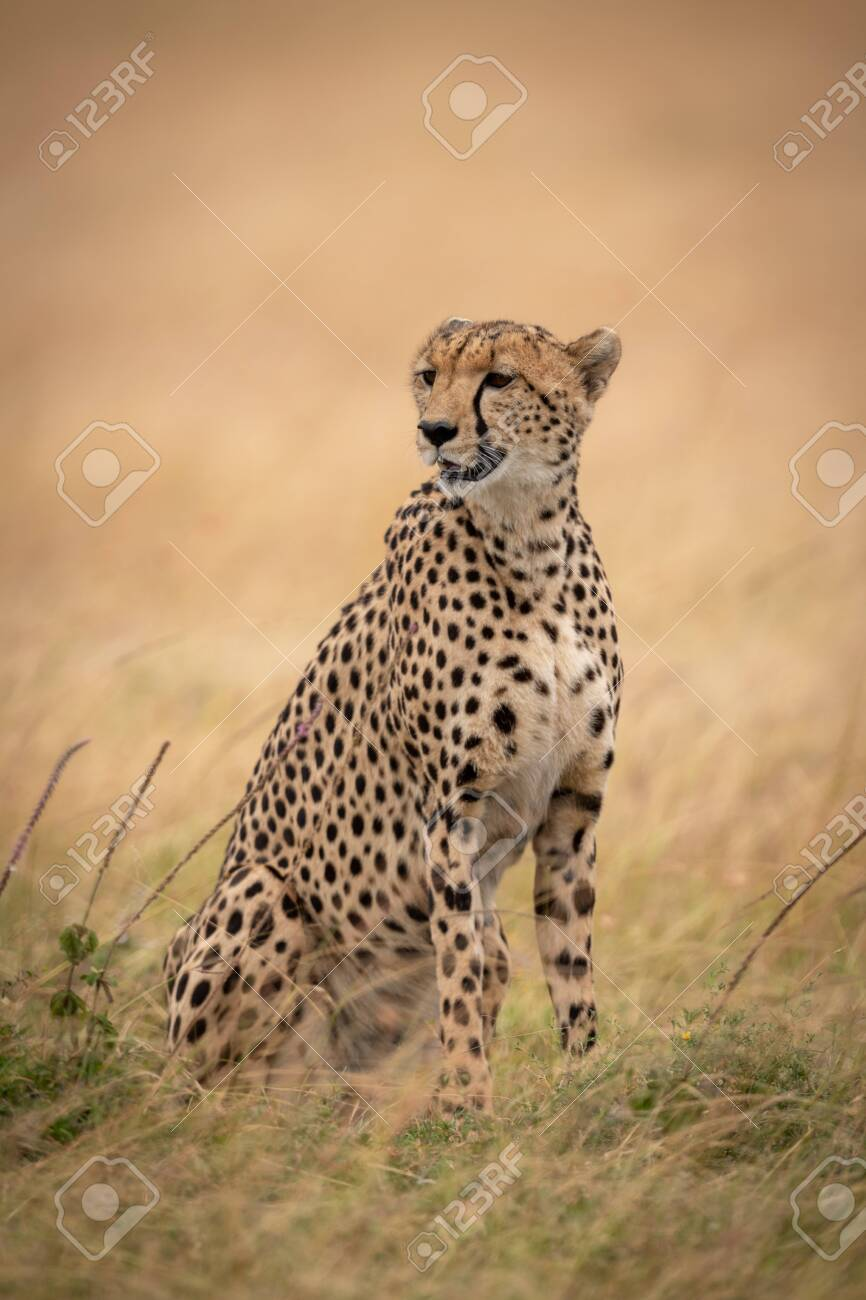 Cheetah sits looking left in long grass - 117018138