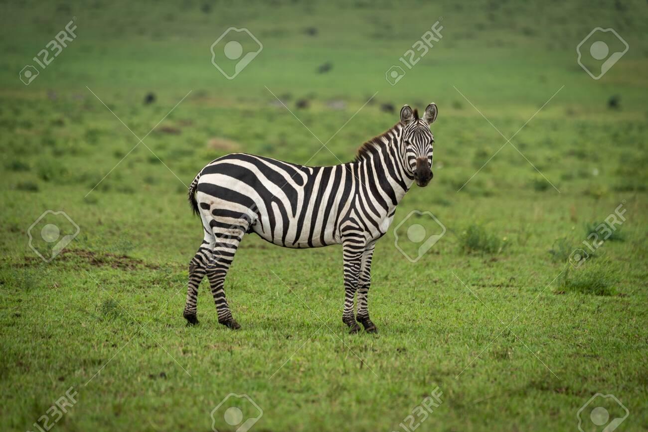 Plains zebra stands in grass watching camera - 129485990