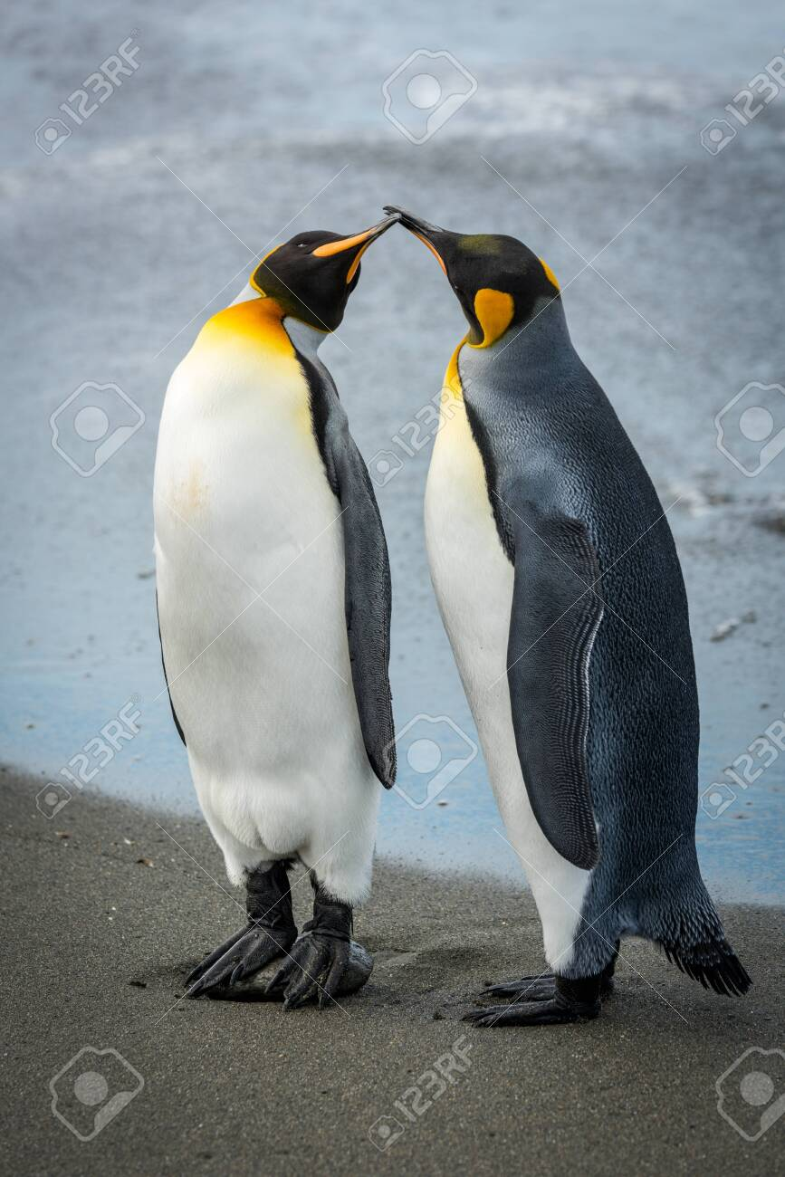 Two king penguins touching bills on beach - 147351234