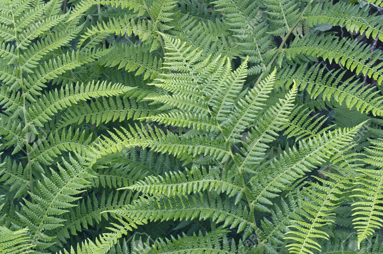 Lady Fern (Athyrium Brevifrons). Close Up Image Of Plants Stock Photo,  Picture And Royalty Free Image. Image 55224097.