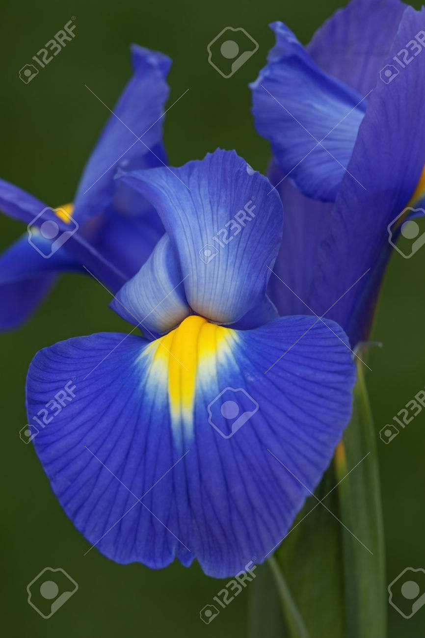 Dutch Iris Iris Xiphium Called Spanish Iris Also Another Stock