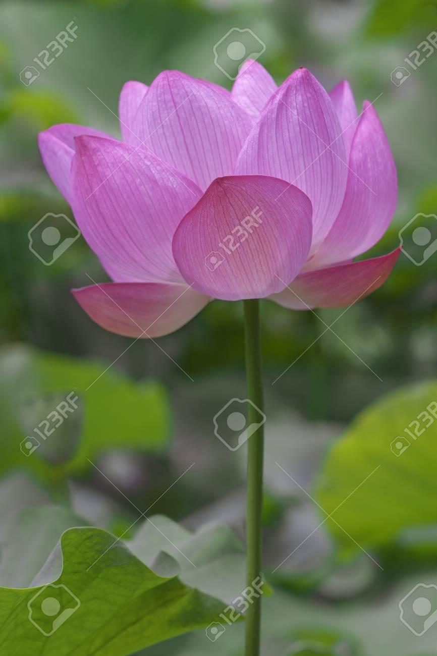 Sacred Lotus Nelumbo Nucifera Called Indian Lotus Bean Of