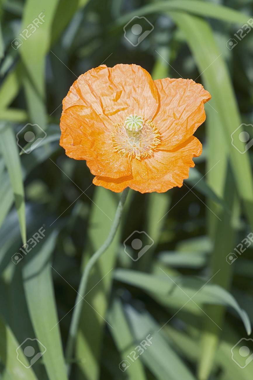 Iceland Poppy Papaver Nudicaule Another Scientific Names Are