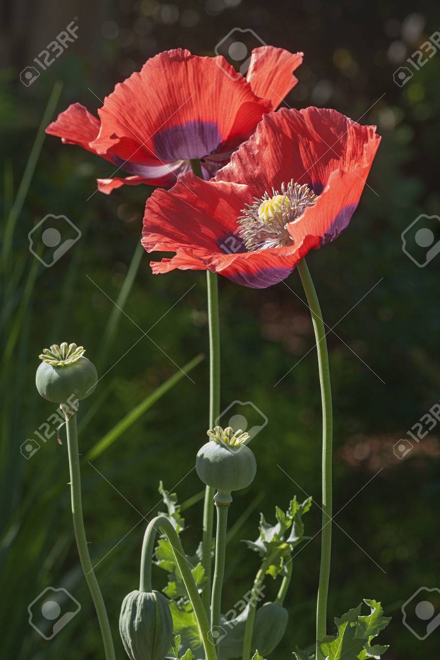 Opium poppy papaver somniferum called garden poppy also another opium poppy papaver somniferum called garden poppy also another scientific name is mightylinksfo