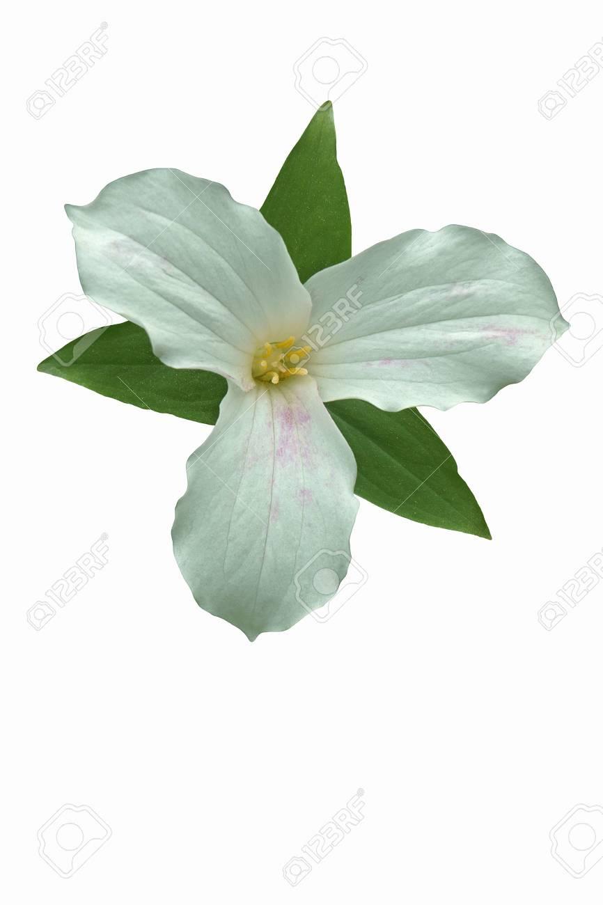 White Trillium Trillium Grandiflorum Called Large Flowered