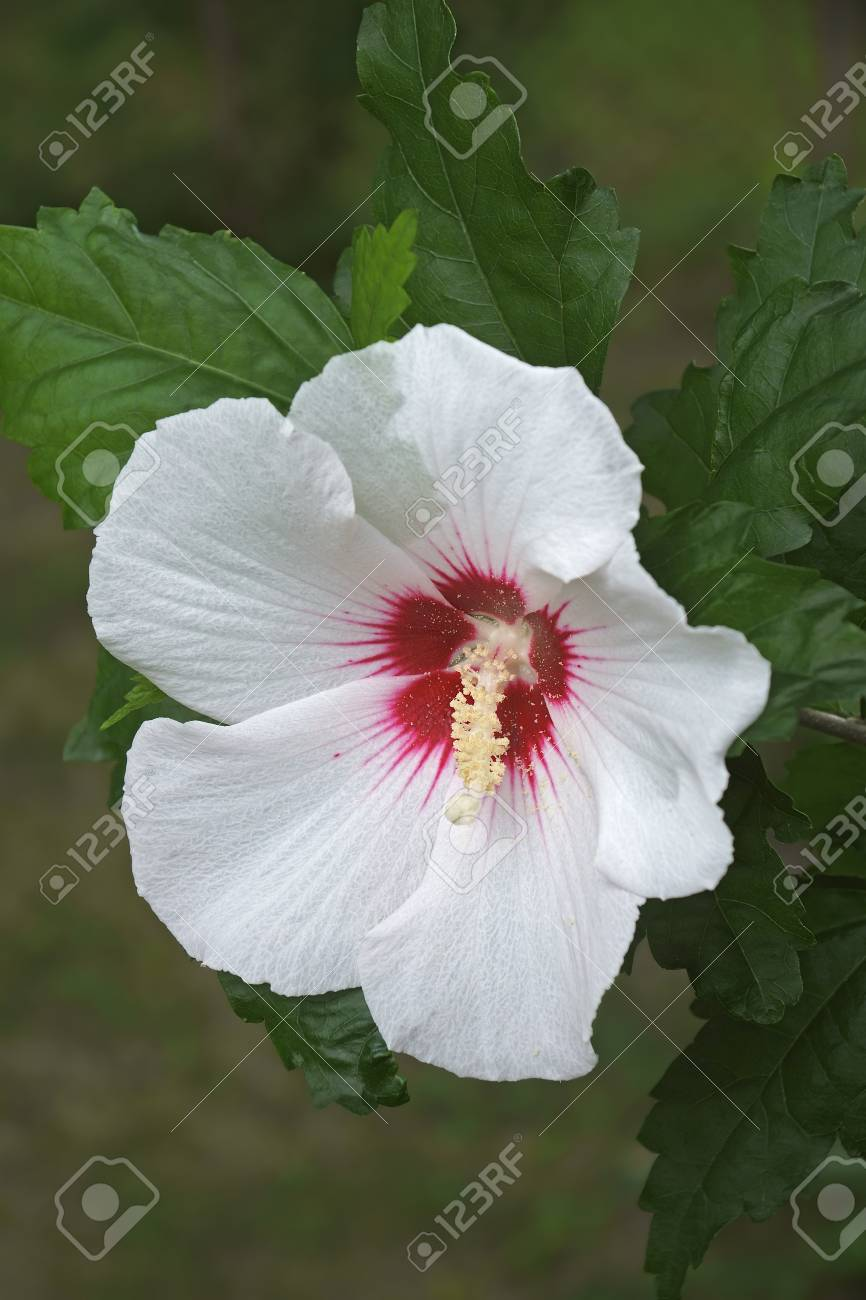 Rose Of Sharon Hibiscus Syriacus Called Syrian Ketmia And Stock