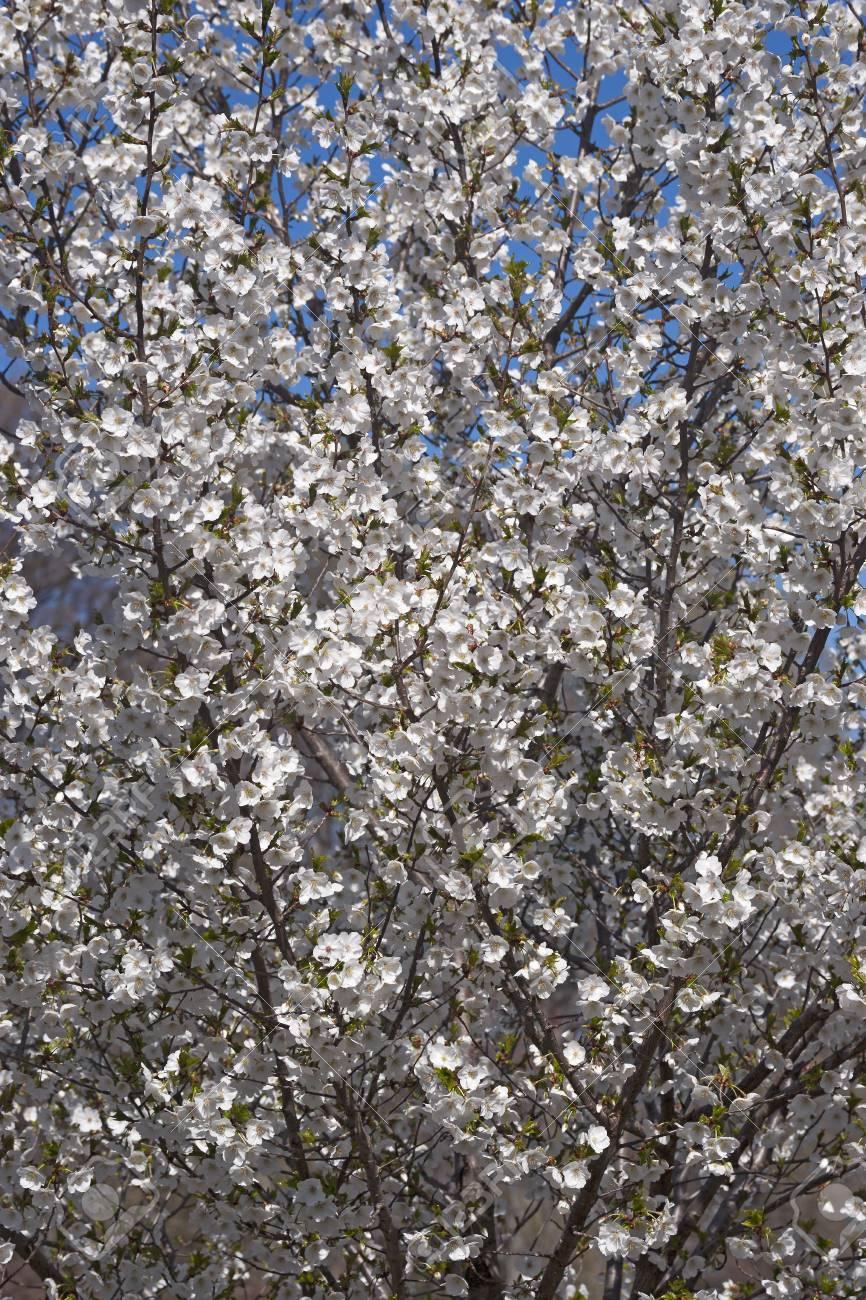 Snow Goose Japanese Flowering Cherry Prunus Serrulata Snow Goose