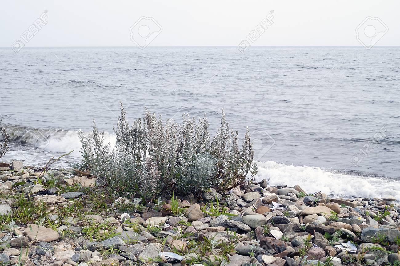Hoary mugwort (Artemisia stelleriana)  Known as Dusty Miller,