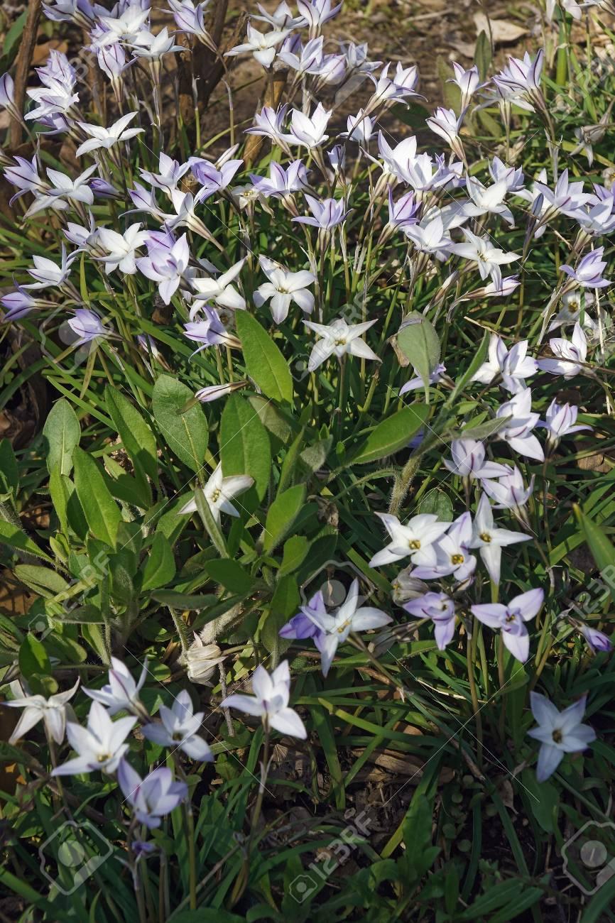 Springstar Ipheion Uniflorum Known As Spring Starflower Also