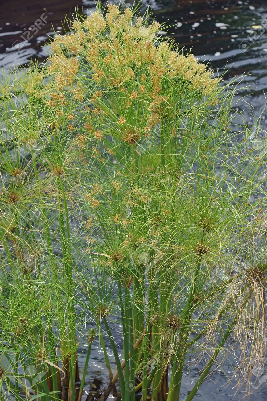 Papyrus (Cyperus Papyrus). Called Papyrus Sedge, Paper Reed, Indian Matting Plant And Nile Grass Also. Stock Photo, Picture And Royalty Free Image. Image 112485078.