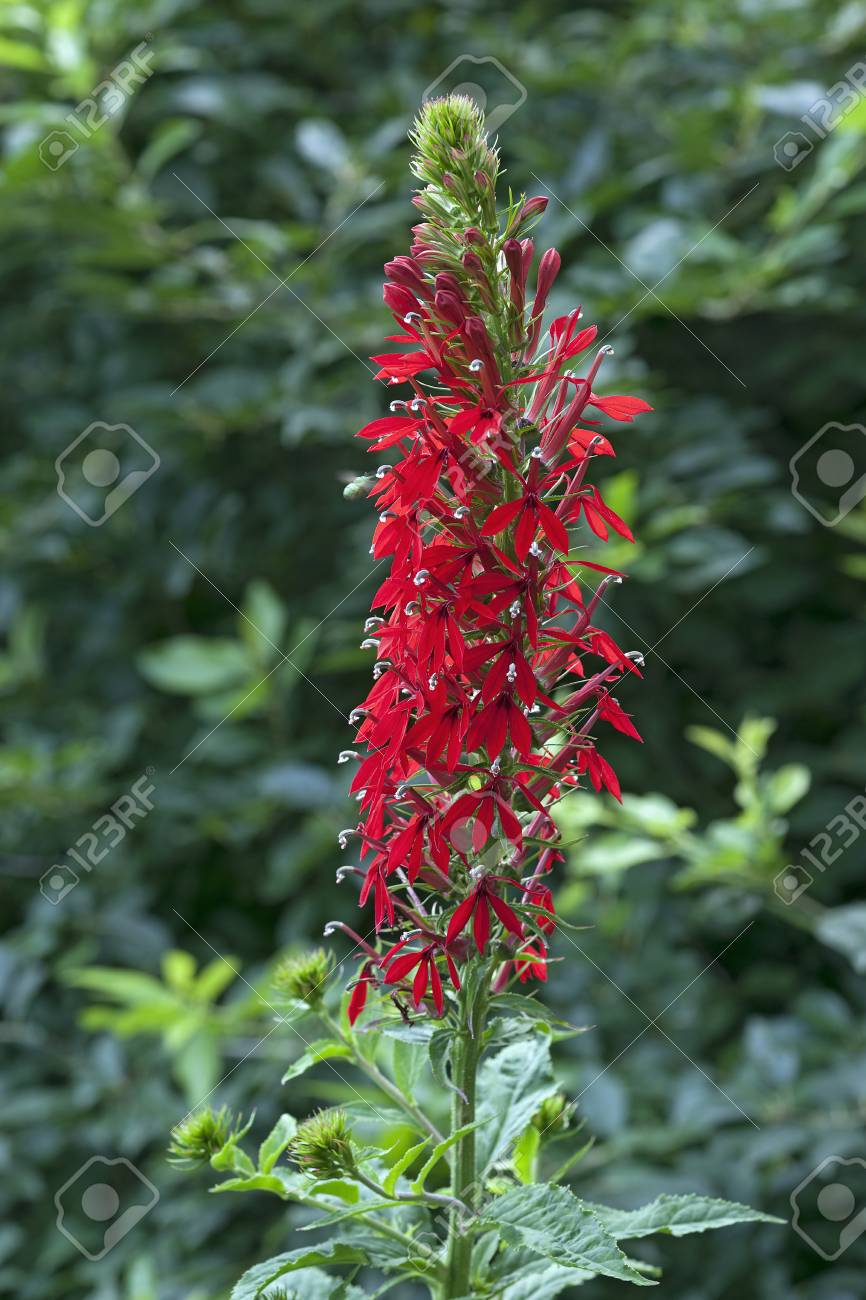 Cardinal Flower Lobelia Cardinalis Stock Photo Picture And