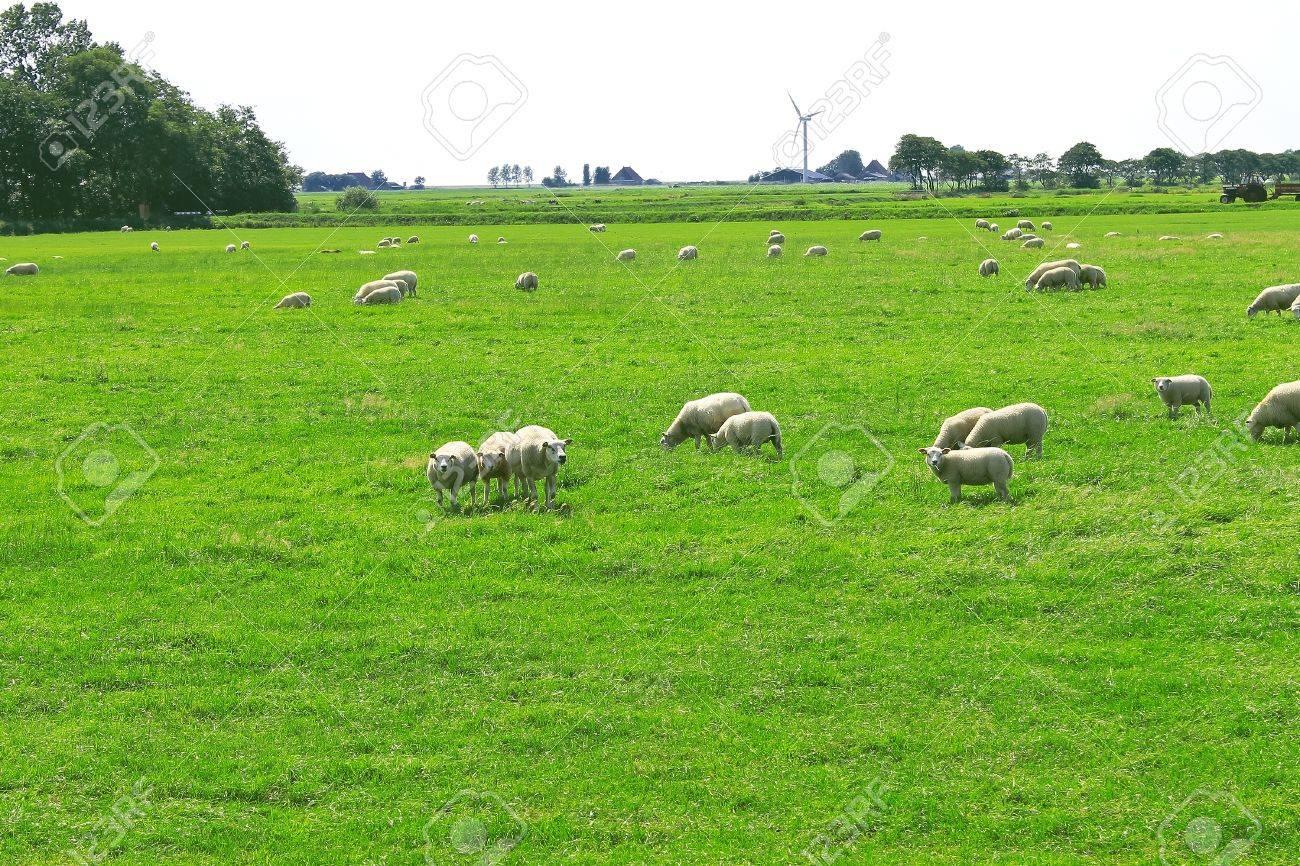 Sheep graze in a meadow near the Dutch farm Stock Photo - 14660160