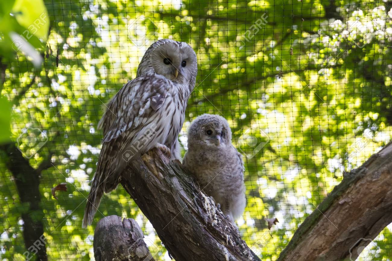 female owl and a owlet on a branch stock photo picture and royalty