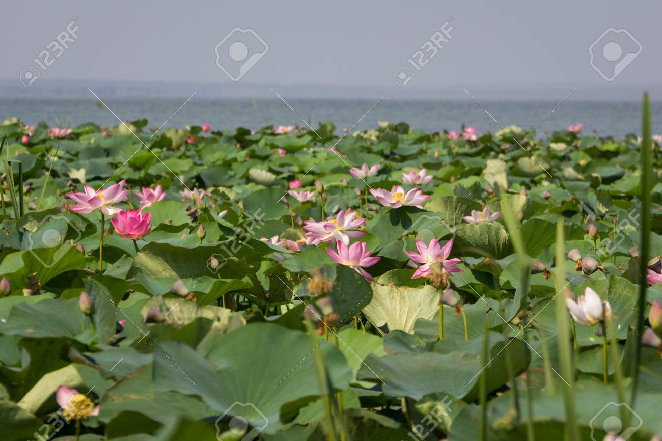 Lotus flower and lotus flower plants on the lake stock photo lotus flower and lotus flower plants on the lake stock photo 57088826 izmirmasajfo