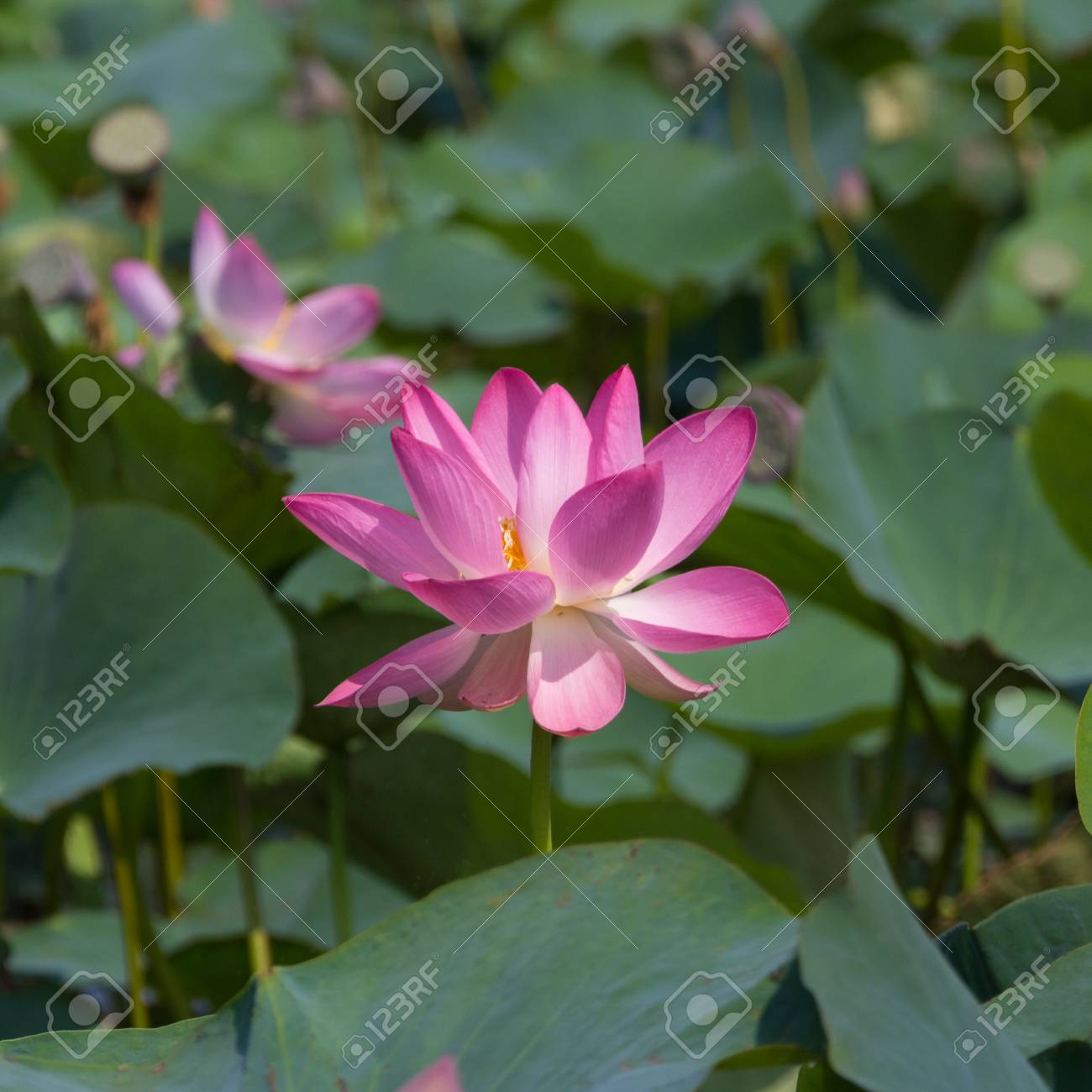 Lotus Flower And Lotus Flower Plants On The Lake Stock Photo