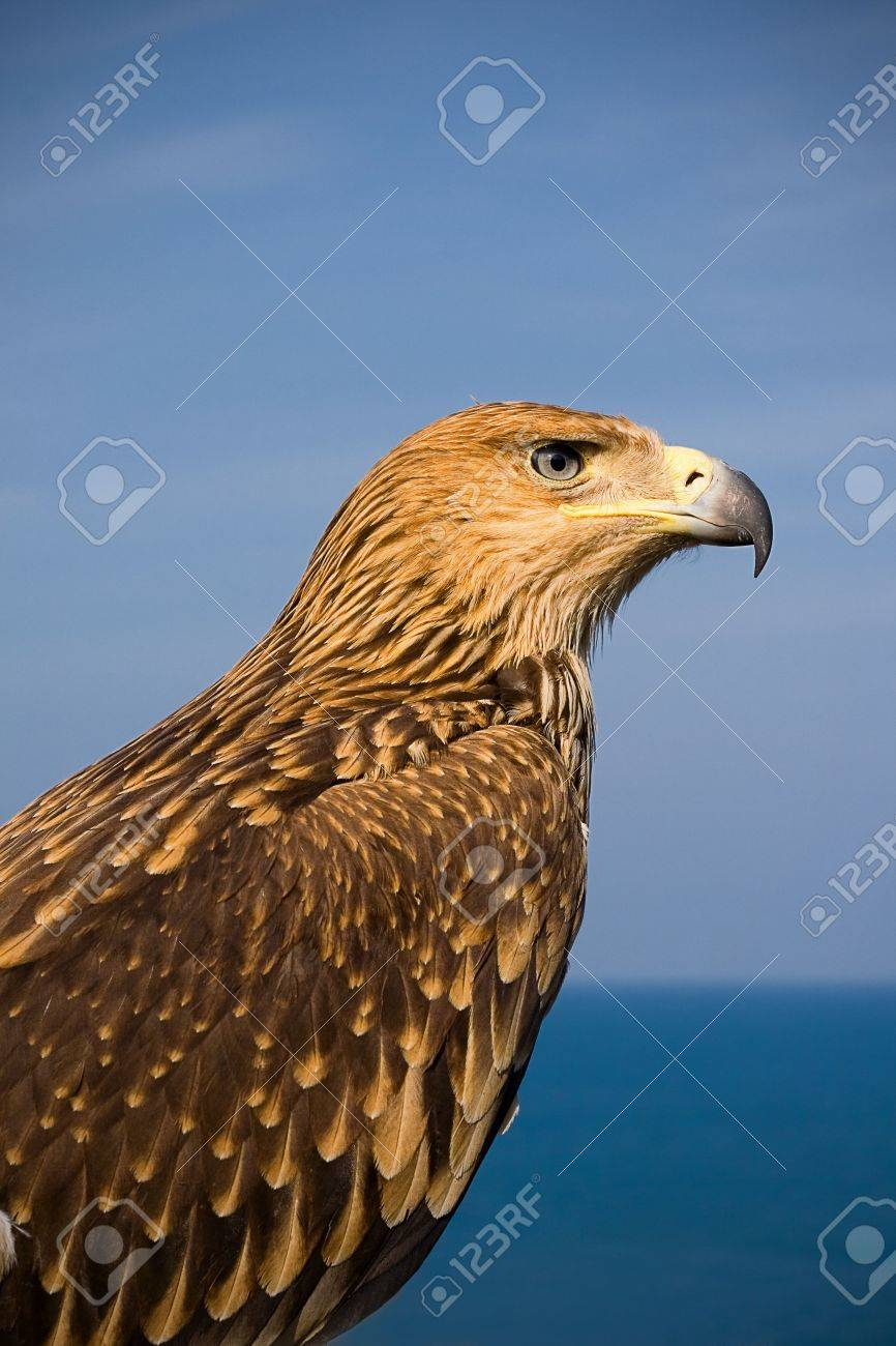 picture of a brown eagle over blue sky Stock Photo - 4757771