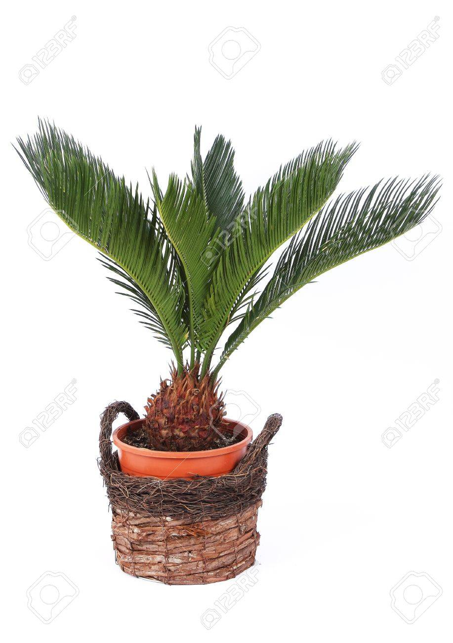 Palm tree in a pot isolated on white Stock Photo - 11713969