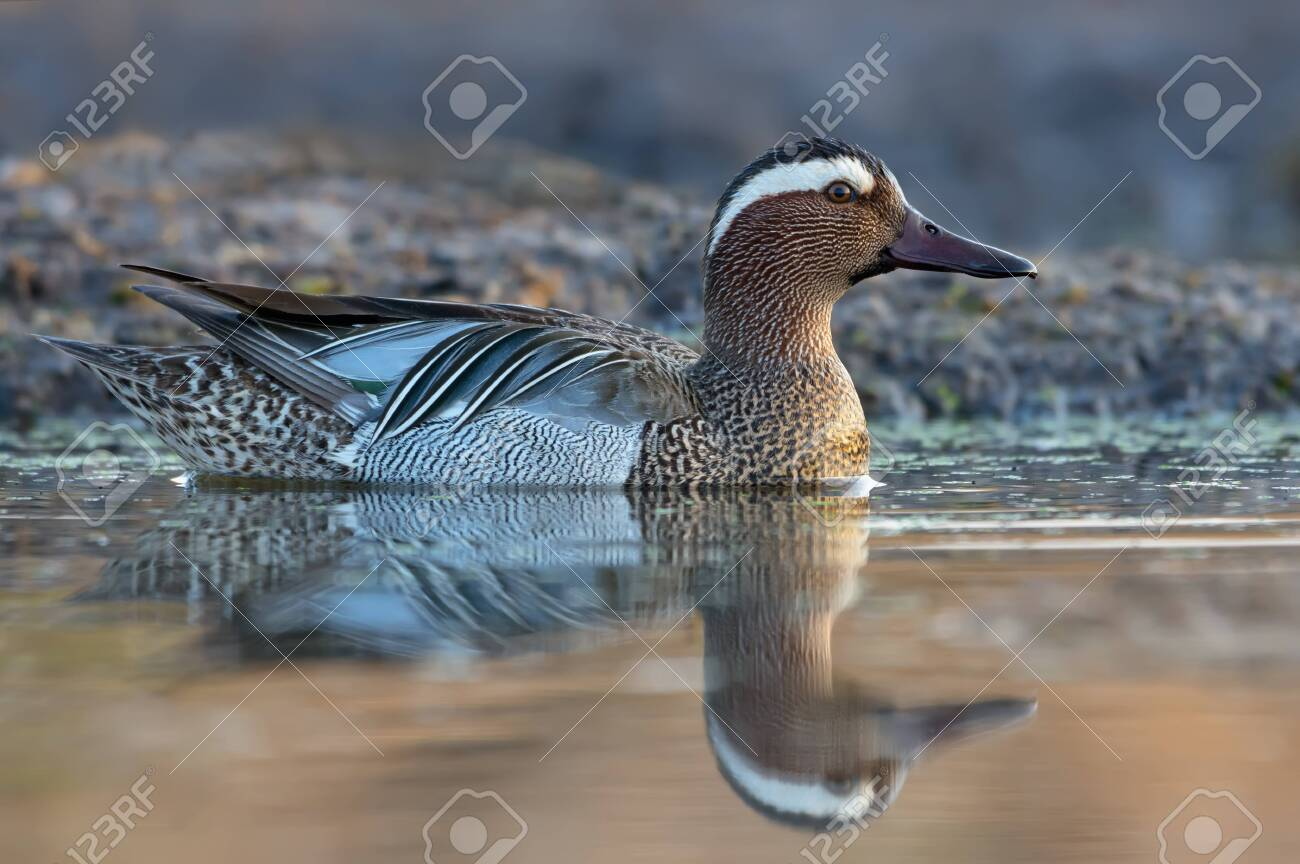 Male Garganey swims in yellow colored spring river with a lot of mud and dirt - 132811281