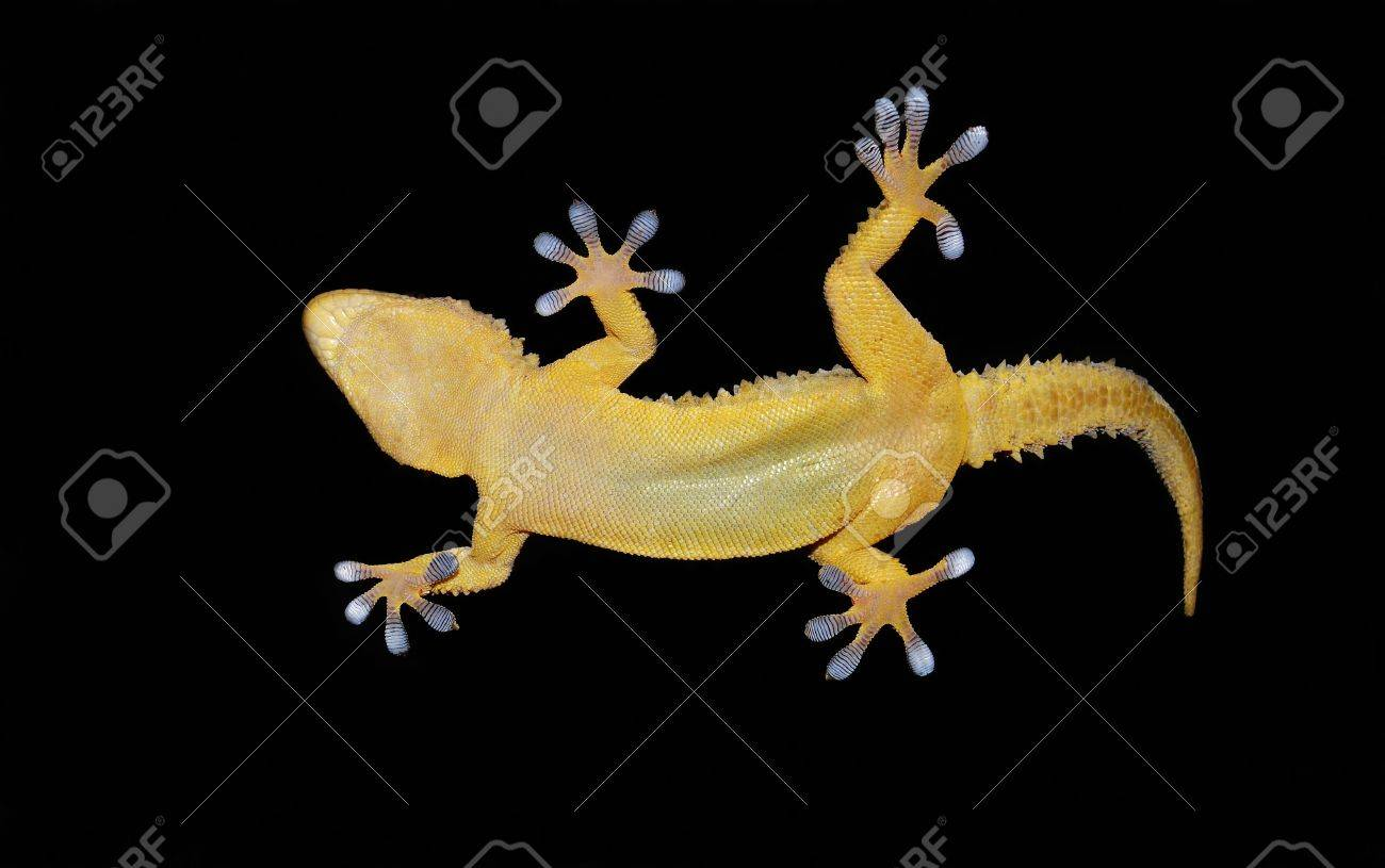 gecko lizard stick to the clear glass stock photo picture and