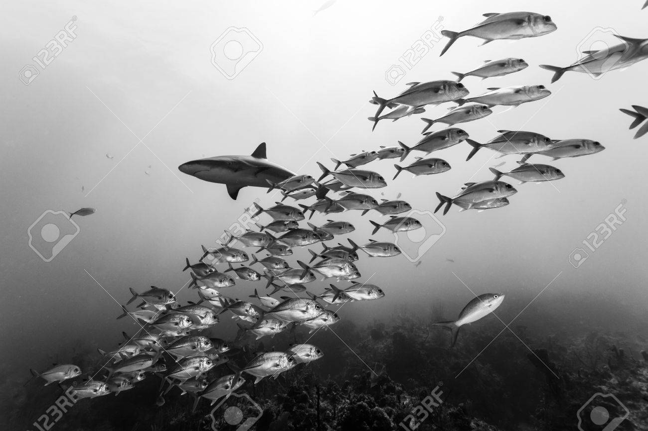 Black and white capture of school of jack fish and a caribbean reef shark in bahamas