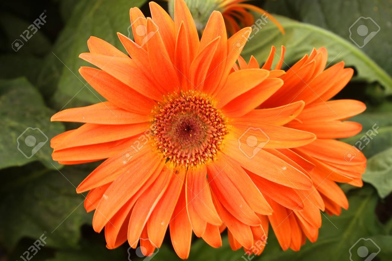 una flor gerbera en el jardín fotos retratos imágenes y fotografía