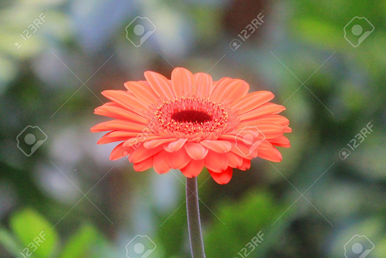 A Gerbera Flower In Spring Season Stock Photo Picture And Royalty