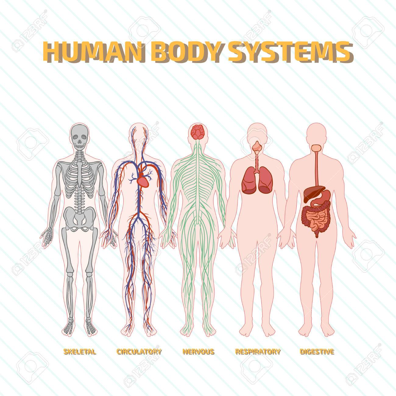 Human Body Systems Royalty Free Cliparts Vectors And Stock