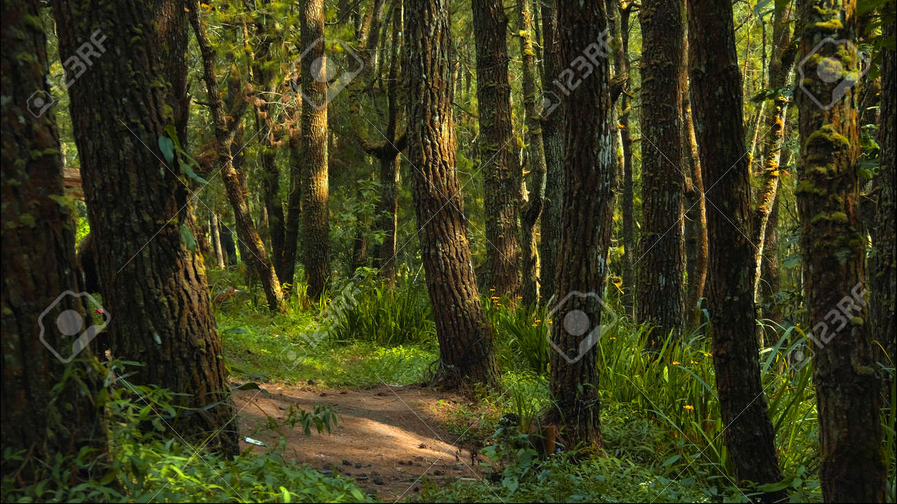 Beautiful green forest with lots of tall trees with coarse bark and daylight breaking through foliage - 171585459