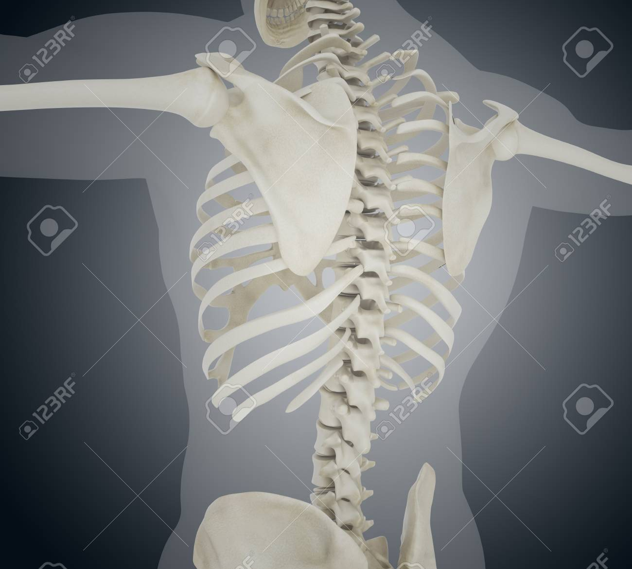 3d Llustration Human Skeleton Back Skeleton Anatomy Concept Stock
