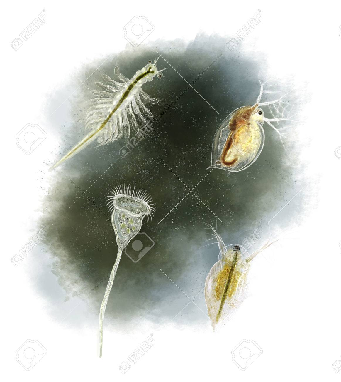 Digital Illustration Of A Daphnia, Vorticella And Brine Shrimp Stock ...