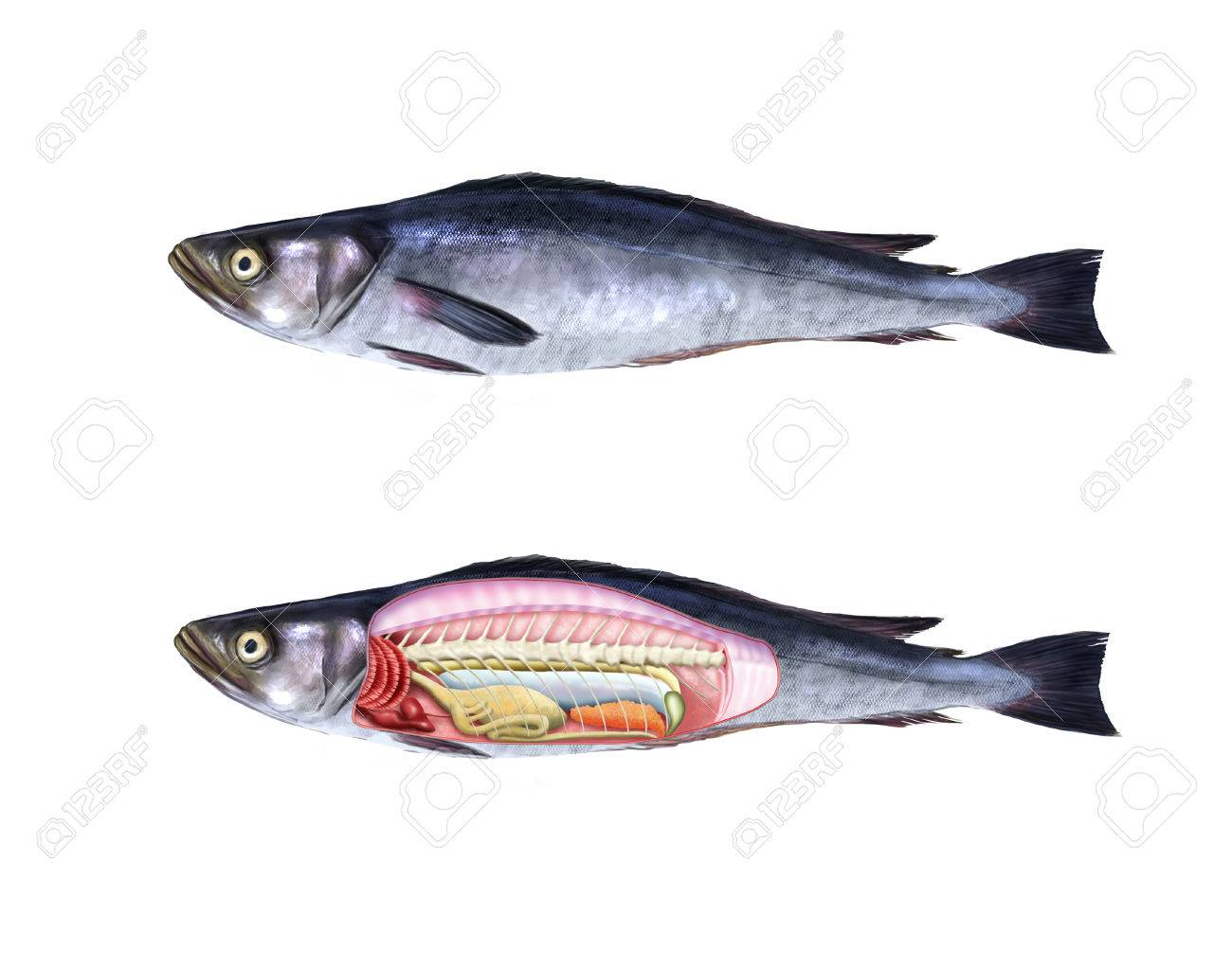 Digital Illustration Of The Anatomy Of A Fish Stock Photo, Picture ...