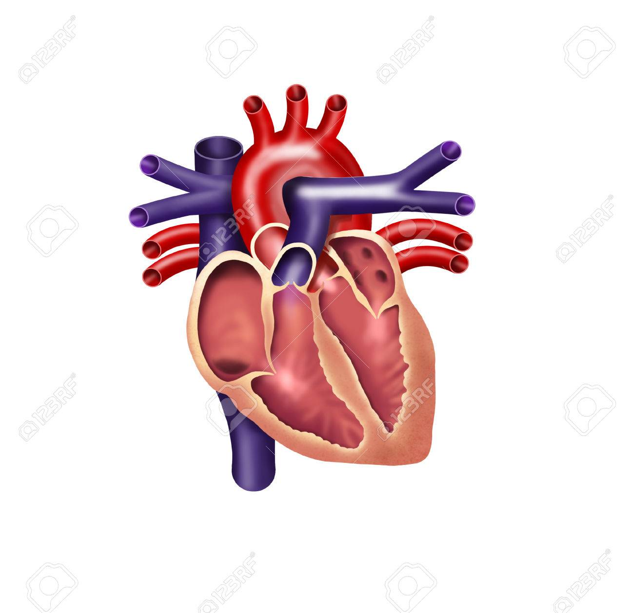 human heart digital illustration cutout stock photo picture and