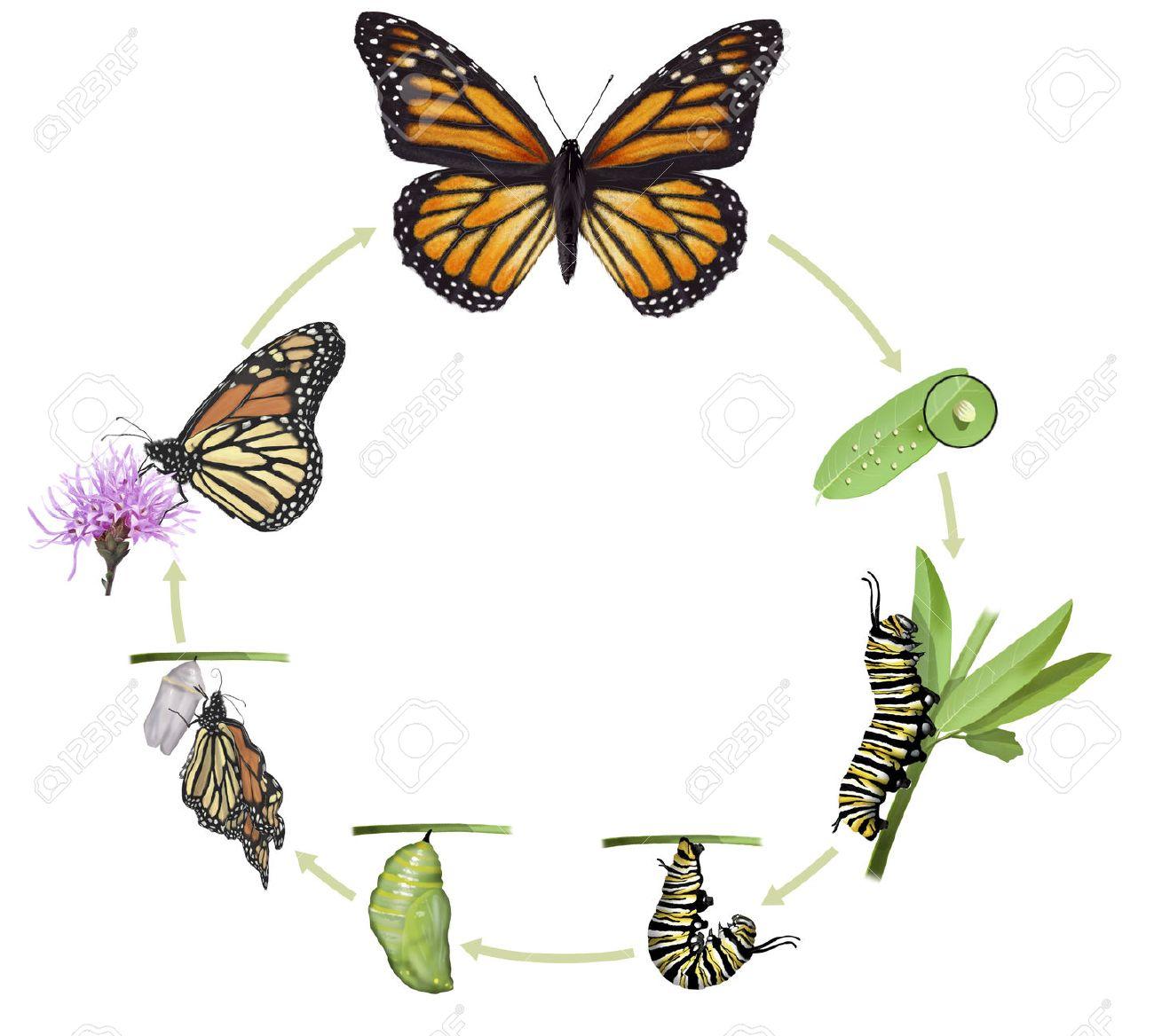 Ilustración Digital De Un Ciclo De Vida De La Mariposa Monarca Fotos ...