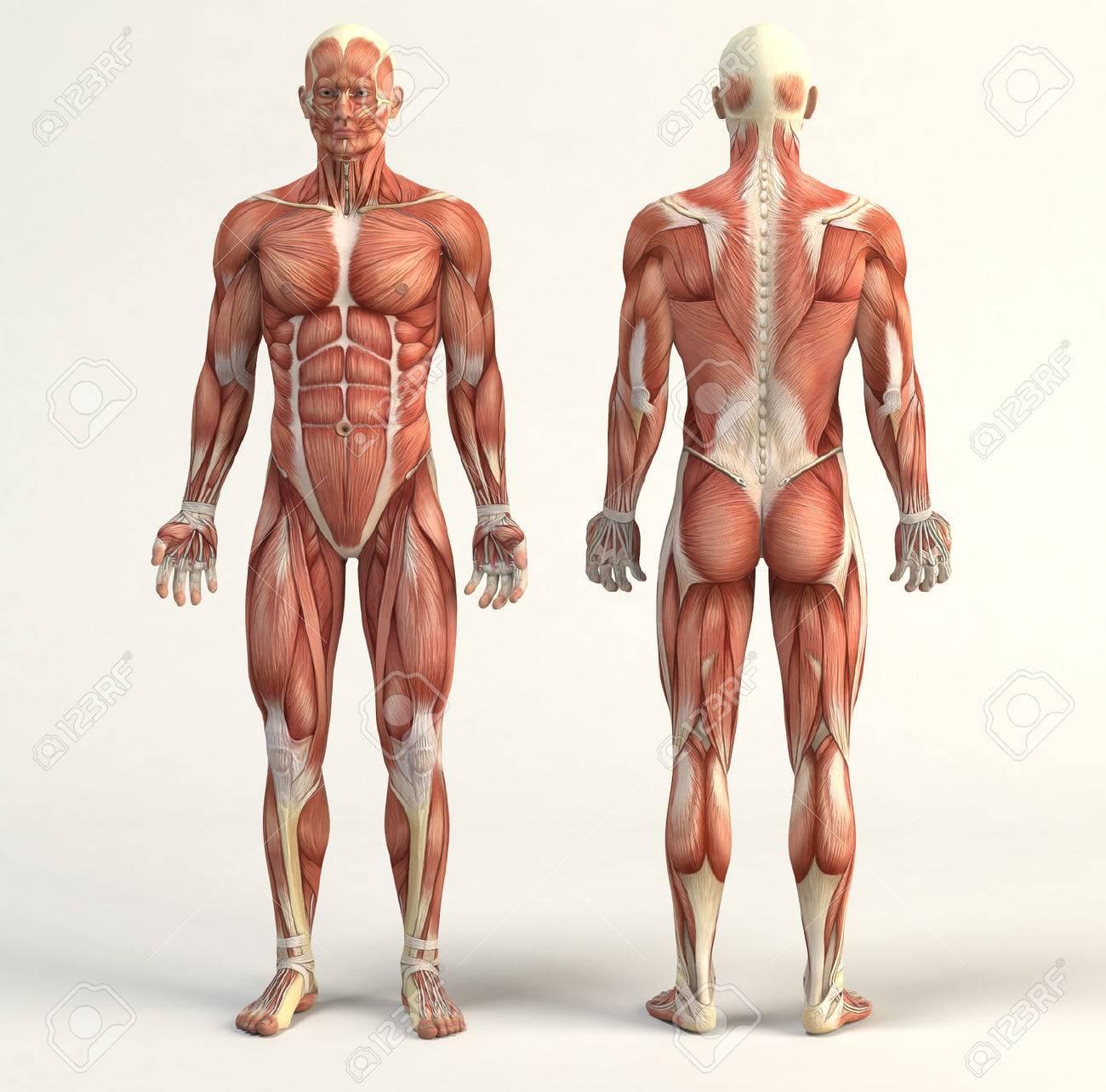 Digital illustration of muscular system - 50519078