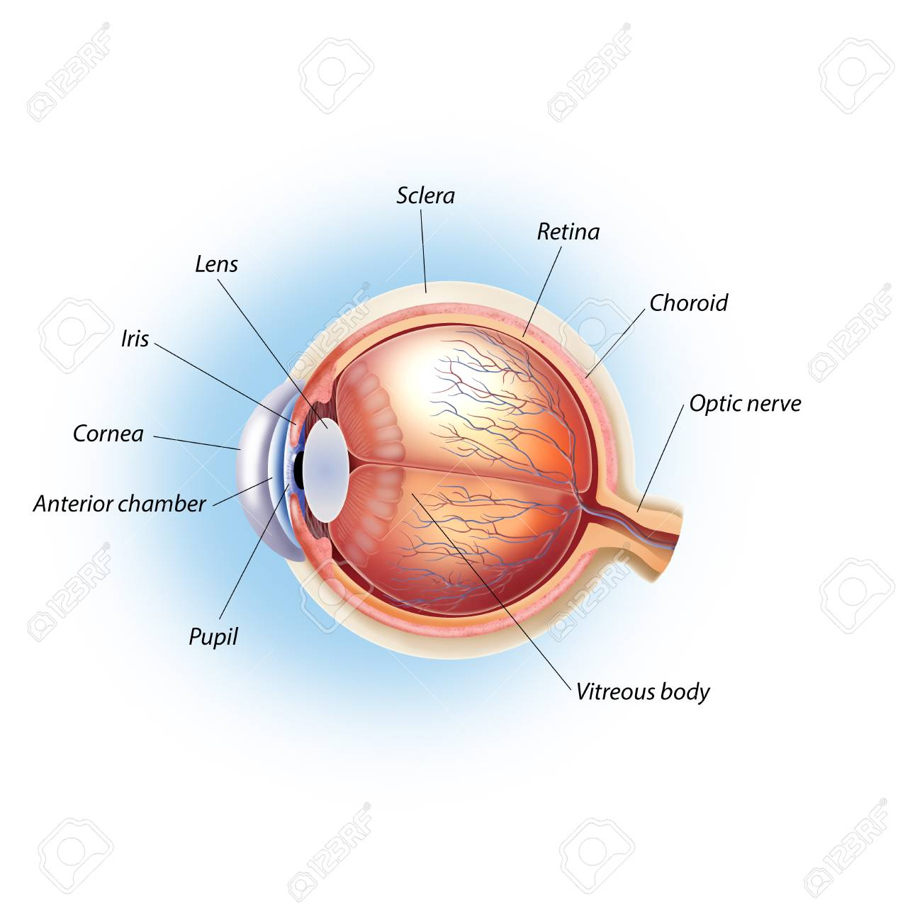 Eye Structure Stock Photo, Picture And Royalty Free Image. Image ...
