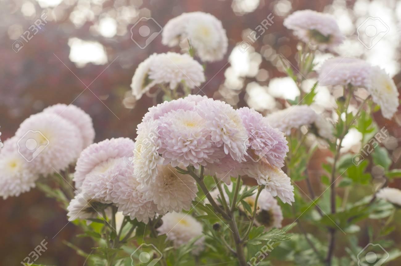 Chrysanthèmes roses en fleur dans le jardin en automne matin brumeux