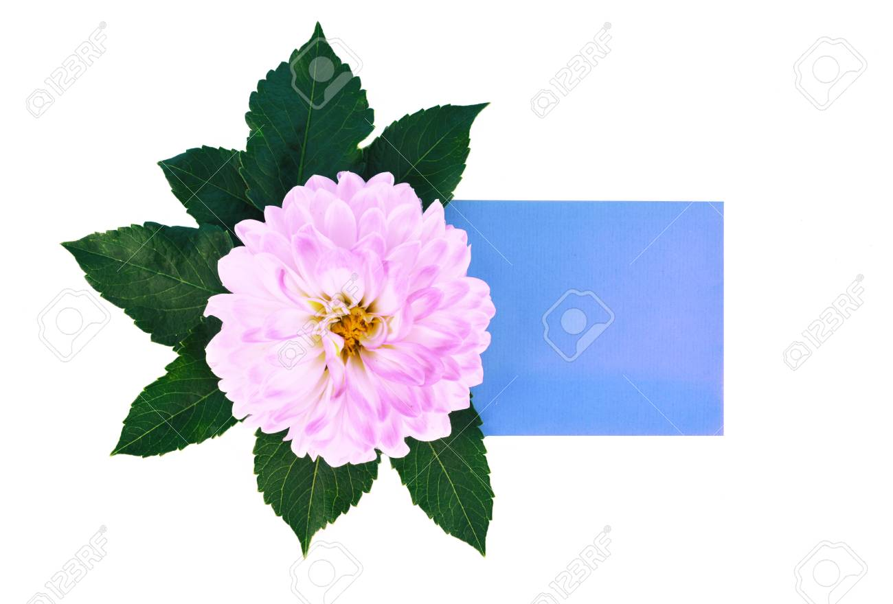 Dahlia flowers and leaves isolated on white background with place dahlia flowers and leaves isolated on white background with place for your text flat lay izmirmasajfo