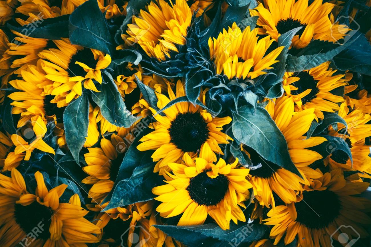 Beautiful fairy dreamy magic sunflowers with dark leaves background. Standard-Bild - 89194739