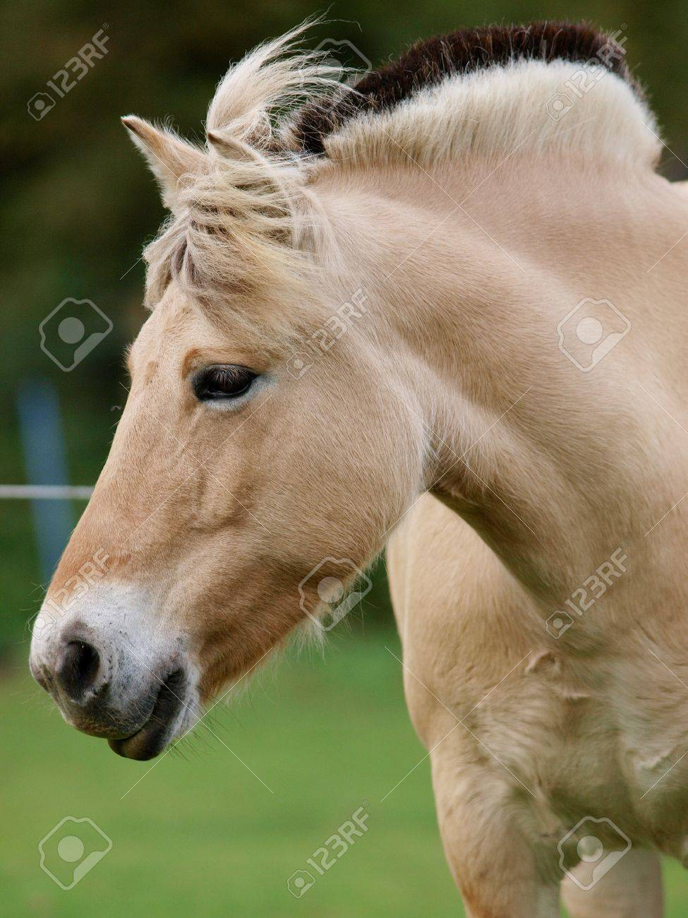A head shot of a Fjord pony. Stock Photo - 13662918